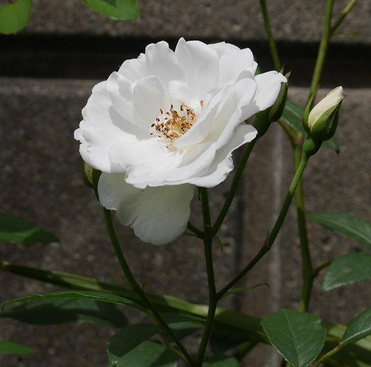 アイスバーグ(木立バラ)の花が増えて来た。2019年-3.jpg