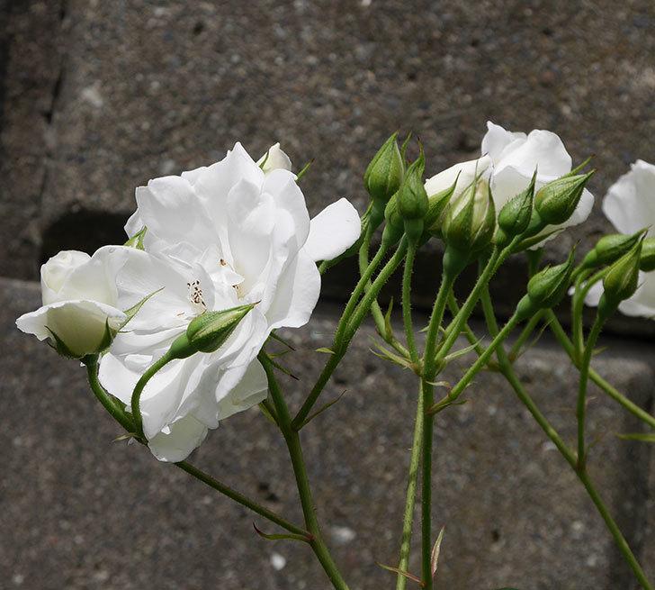 アイスバーグ(木立バラ)の花が増えて来た。2019年-4.jpg