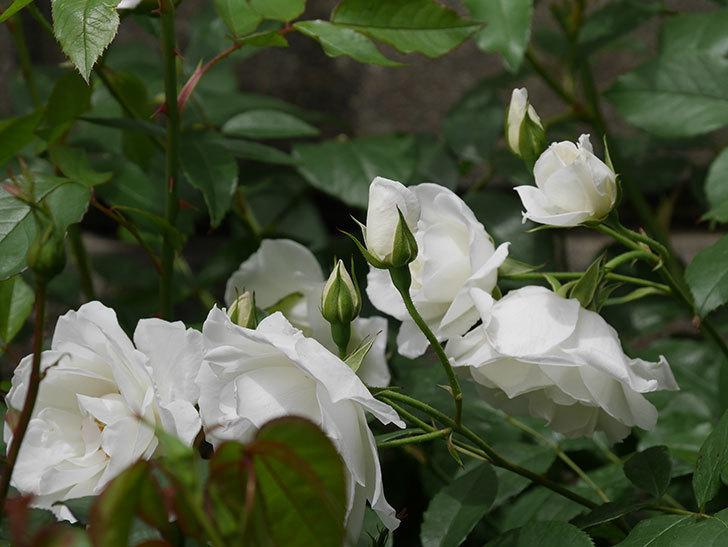アイスバーグ(木立バラ)の花が増えて来た。2019年-5.jpg
