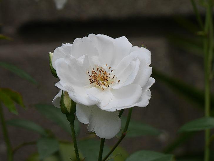 アイスバーグ(木立バラ)の花が増えて来た。2019年-6.jpg