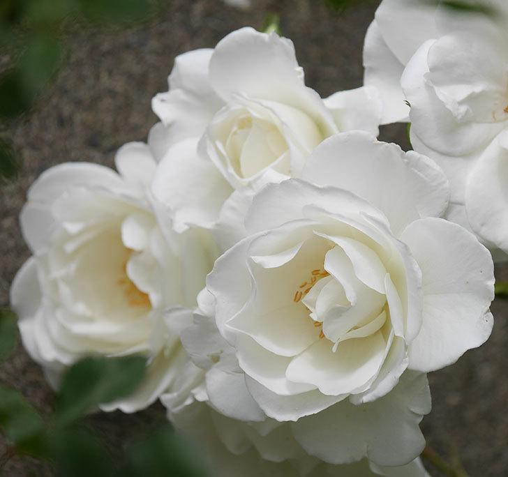 アイスバーグ(木立バラ)の花が増えて来た。2019年-8.jpg
