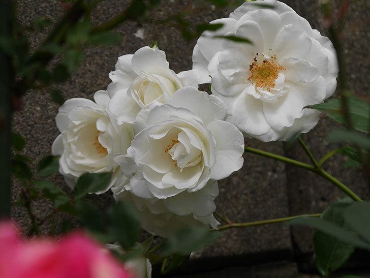 アイスバーグ(木立バラ)の花が増えて来た。2019年-9.jpg