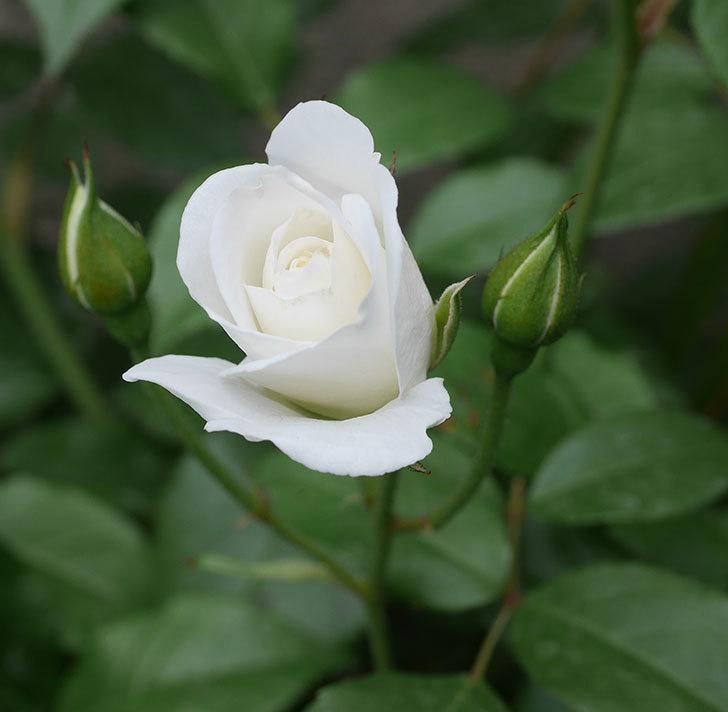 アイスバーグ(木立バラ)の花が少し咲いた。2019年-1.jpg