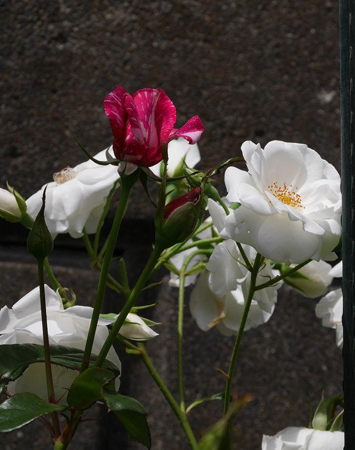 アイスバーグ(木立バラ)の花が満開になった。2019年-10.jpg