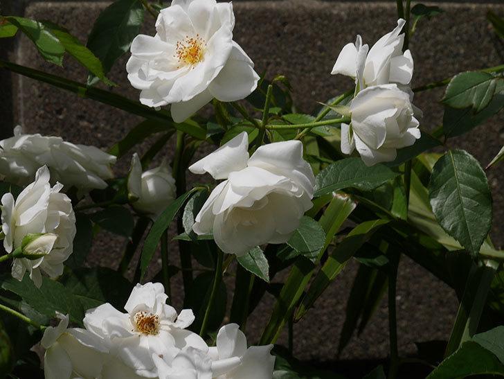 アイスバーグ(木立バラ)の花が満開になった。2019年-11.jpg
