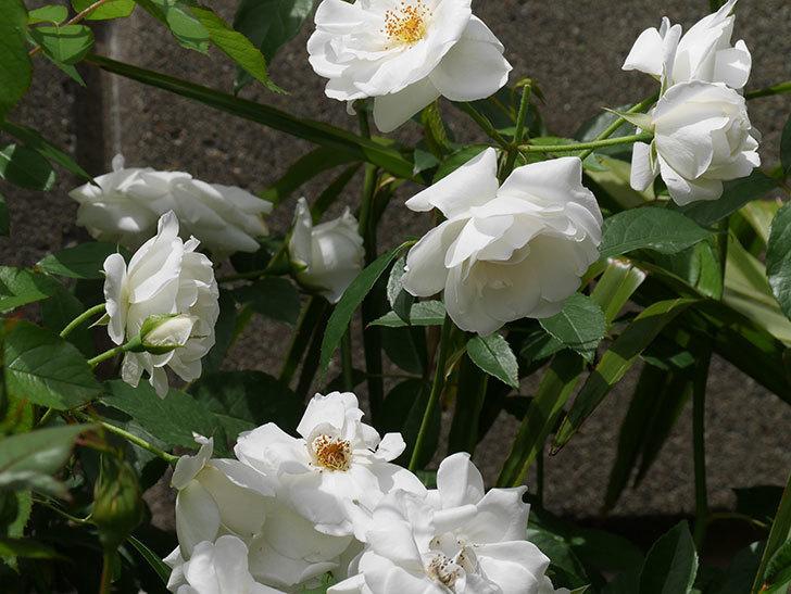 アイスバーグ(木立バラ)の花が満開になった。2019年-12.jpg