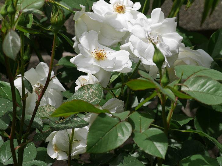 アイスバーグ(木立バラ)の花が満開になった。2019年-13.jpg