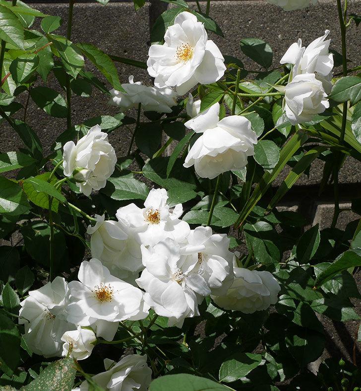 アイスバーグ(木立バラ)の花が満開になった。2019年-2.jpg
