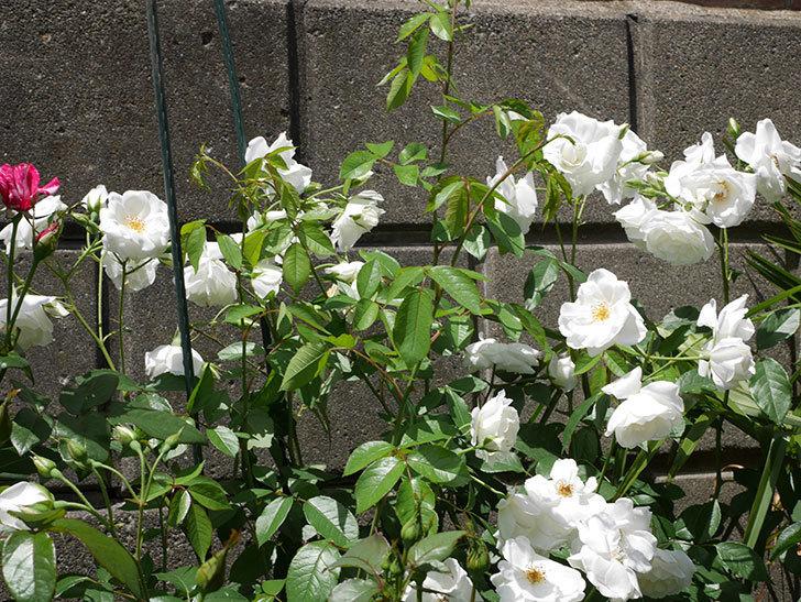 アイスバーグ(木立バラ)の花が満開になった。2019年-3.jpg