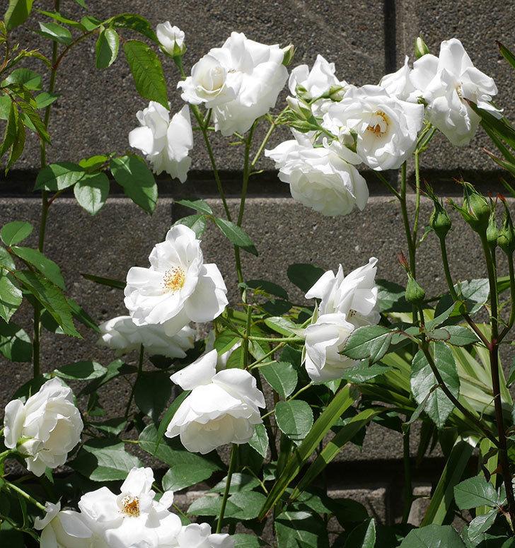 アイスバーグ(木立バラ)の花が満開になった。2019年-4.jpg