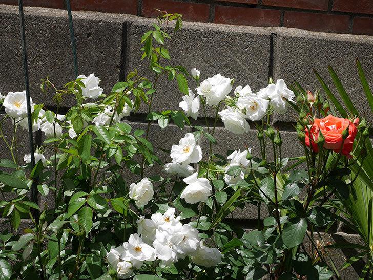アイスバーグ(木立バラ)の花が満開になった。2019年-5.jpg