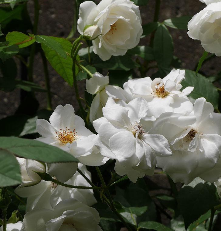 アイスバーグ(木立バラ)の花が満開になった。2019年-7.jpg