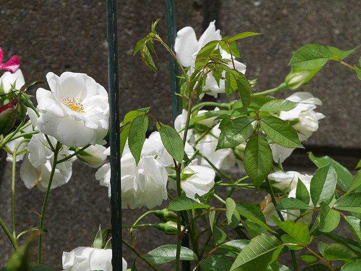 アイスバーグ(木立バラ)の花が満開になった。2019年-9.jpg