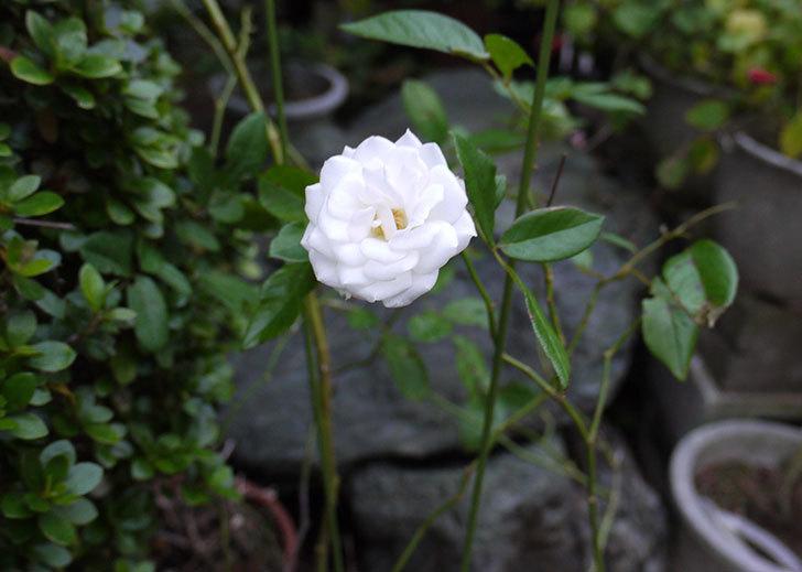 アイスバーグ(薔薇)が一輪だけ咲いた1.jpg