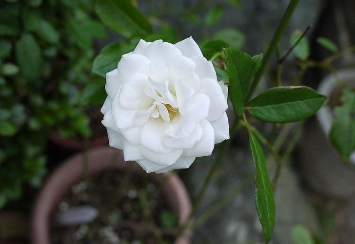 アイスバーグ(薔薇)が一輪だけ咲いた2.jpg