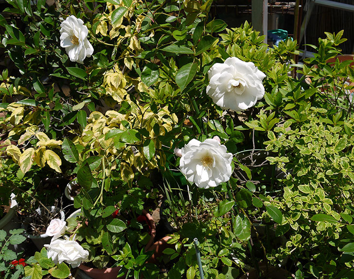 アイスバーグ(薔薇)が咲いた2.jpg