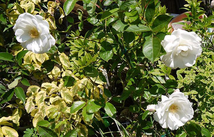 アイスバーグ(薔薇)が咲いた3.jpg