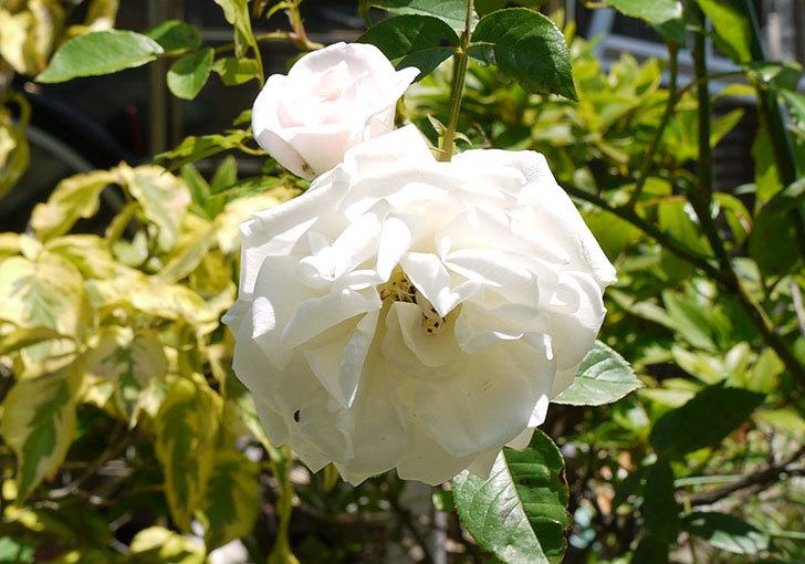 アイスバーグ(薔薇)が咲いた4.jpg