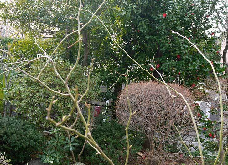 アイスバーグ(薔薇)の冬剪定をした3.jpg