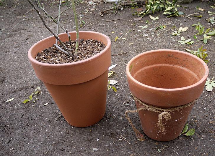 アイスバーグ(薔薇)を一回り大きい8号鉢に植え替えた1.jpg