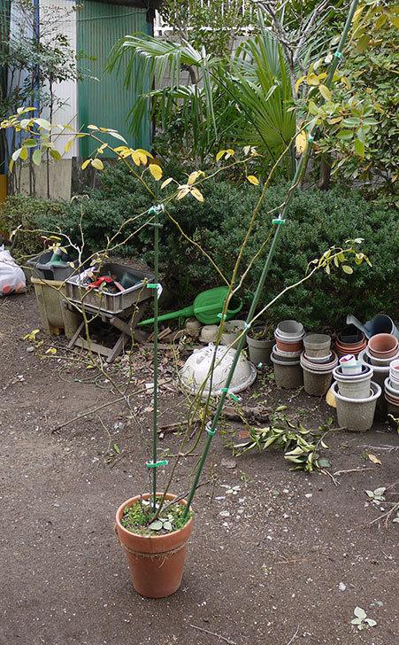 アイスバーグ(薔薇)を一回り大きい8号鉢に植え替えた2.jpg