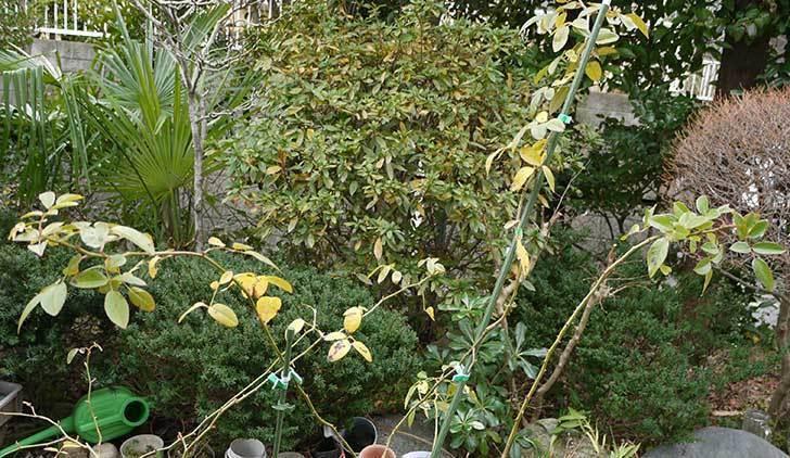 アイスバーグ(薔薇)を一回り大きい8号鉢に植え替えた3.jpg