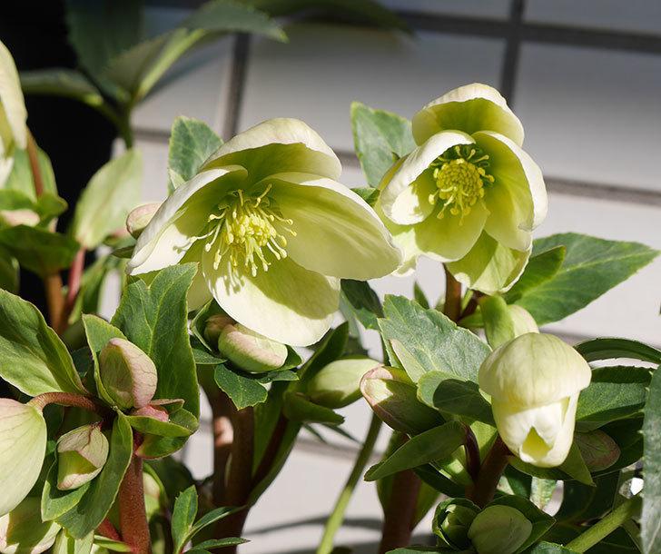 アイスブレーカープレデュードの花が咲いた。2019年-1.jpg