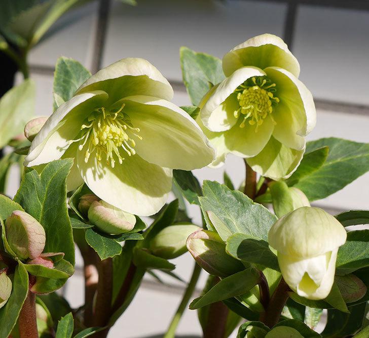 アイスブレーカープレデュードの花が咲いた。2019年-5.jpg