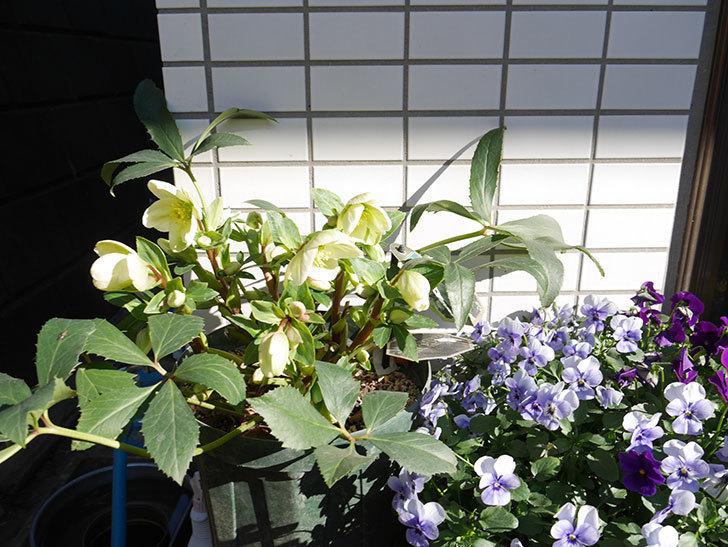 アイスブレーカープレデュードの花が咲いた。2019年-6.jpg