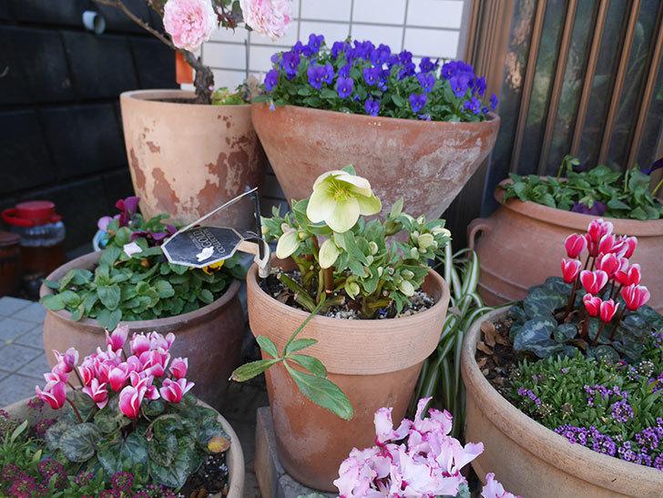 アイスブレーカープレデュードの花が咲いた。2020年-4.jpg