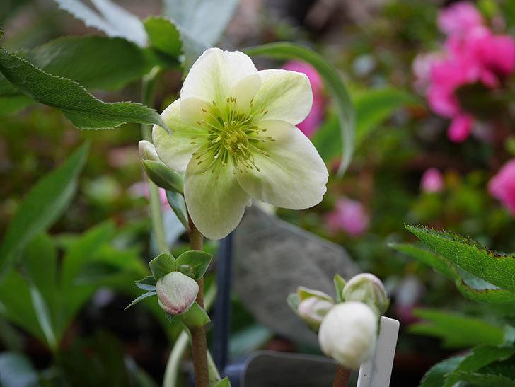 アイスブレーカープレデュードの花が咲きだした。2021年-009.jpg