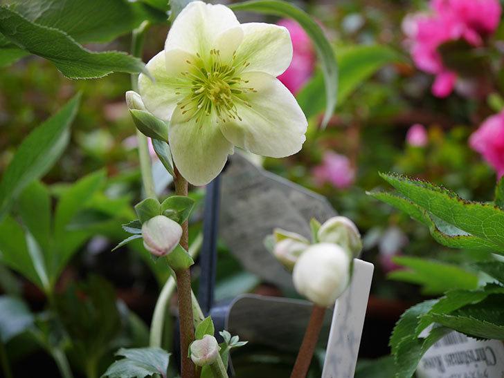 アイスブレーカープレデュードの花が咲きだした。2021年-010.jpg