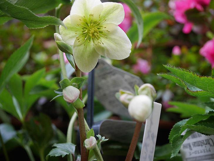 アイスブレーカープレデュードの花が咲きだした。2021年-011.jpg