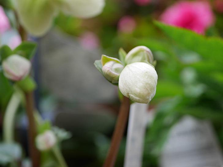 アイスブレーカープレデュードの花が咲きだした。2021年-015.jpg