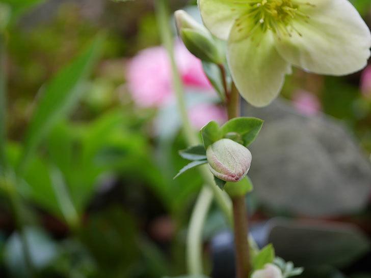 アイスブレーカープレデュードの花が咲きだした。2021年-016.jpg