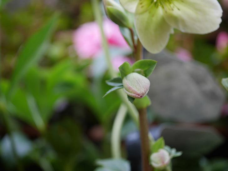 アイスブレーカープレデュードの花が咲きだした。2021年-017.jpg