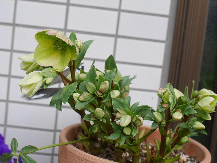 アイスブレーカープレデュードの花が増えて来た。2020年-3.jpg