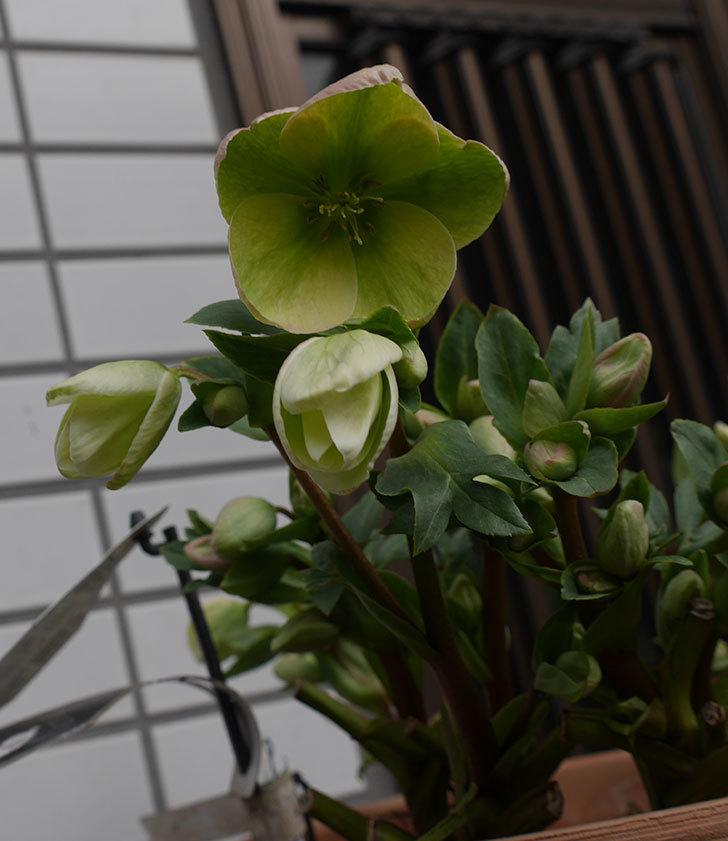 アイスブレーカープレデュードの花が増えて来た。2020年-5.jpg
