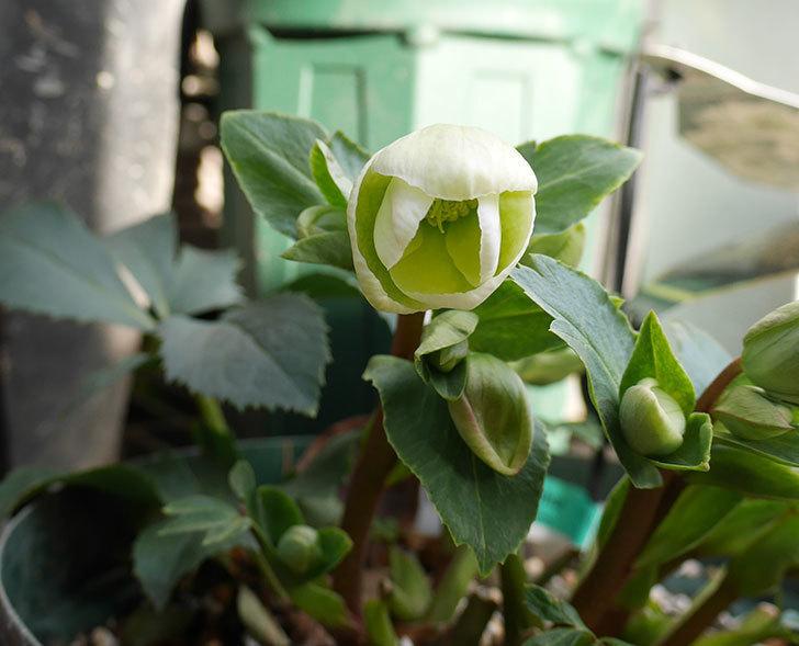 アイスブレーカープレデュードの花が少し咲いた。2017年-1.jpg