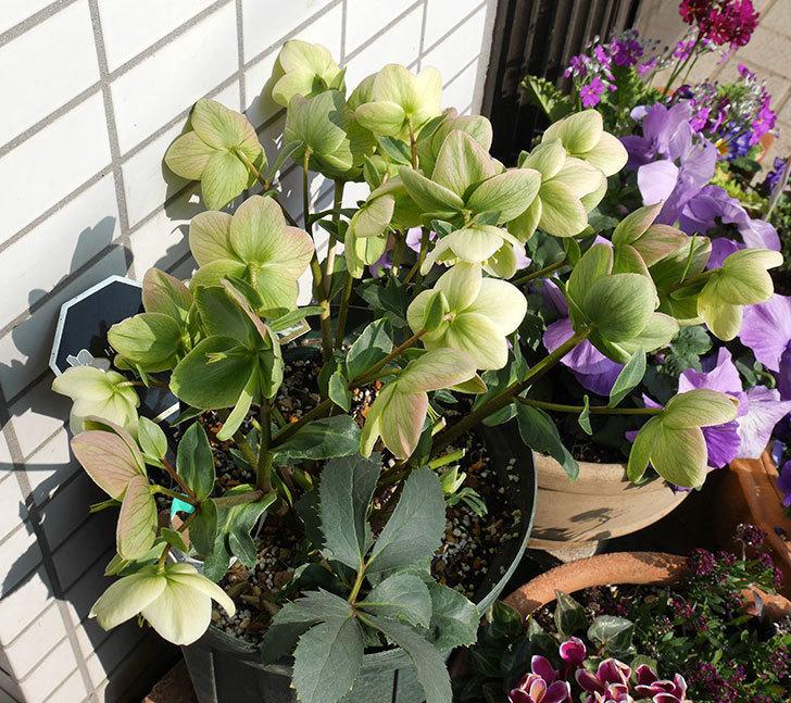 アイスブレーカープレデュードの花が満開になった。2018年-3.jpg