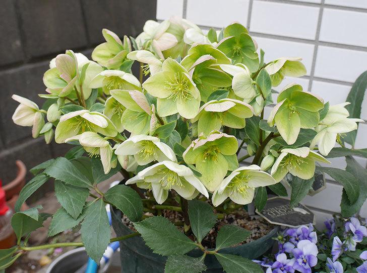アイスブレーカープレデュードの花が満開になった。2019年-1.jpg