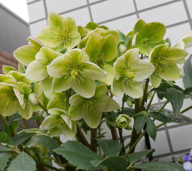 アイスブレーカープレデュードの花が満開になった。2019年-5.jpg