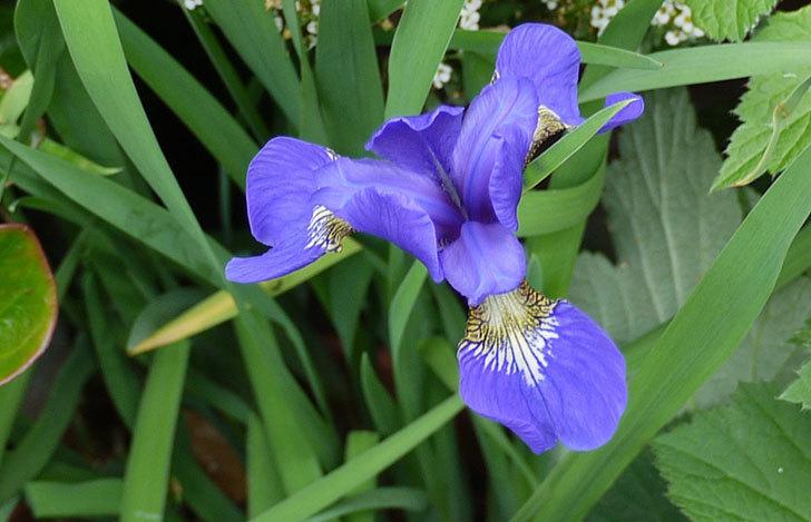 アイリスの花が2個咲いた2.jpg