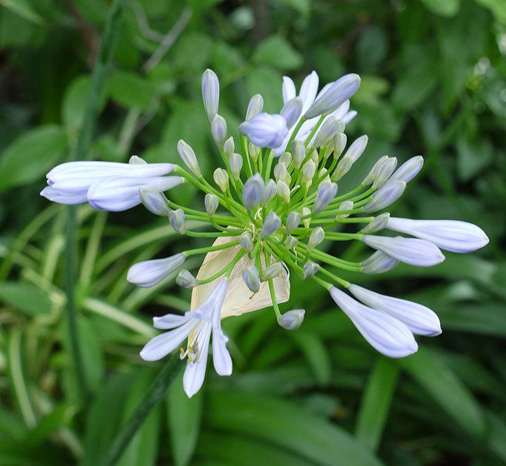 アガパンサス(ムラサキクンシラン)が咲いた。2017年-1.jpg