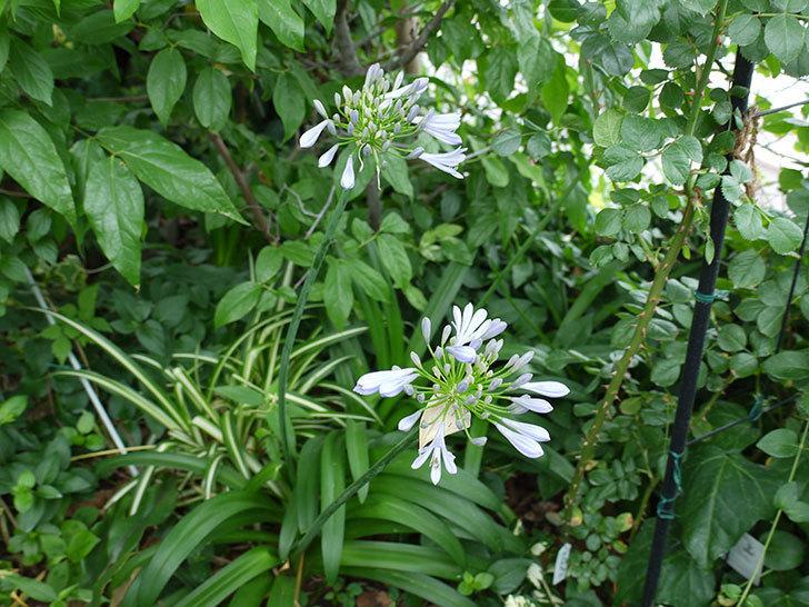 アガパンサス(ムラサキクンシラン)が咲いた。2017年-5.jpg