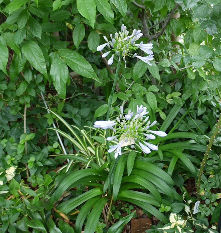 アガパンサス(ムラサキクンシラン)が咲いた。2017年-6.jpg