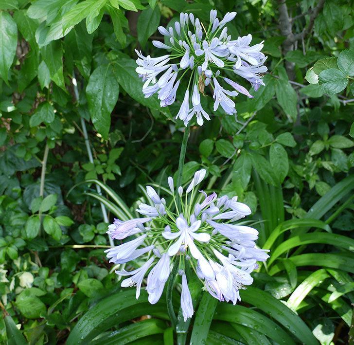 アガパンサス(ムラサキクンシラン)が更に咲いた。2017年-1.jpg