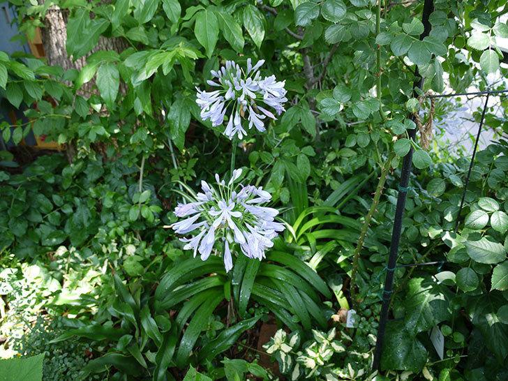 アガパンサス(ムラサキクンシラン)が更に咲いた。2017年-4.jpg