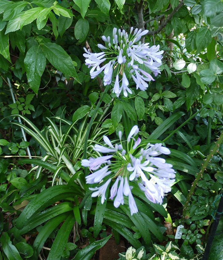 アガパンサス(ムラサキクンシラン)が更に咲いた。2017年-5.jpg