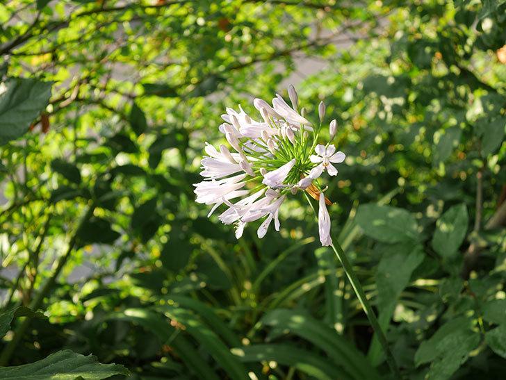アガパンサス(ムラサキクンシラン)の花が咲いた。2020年-001.jpg